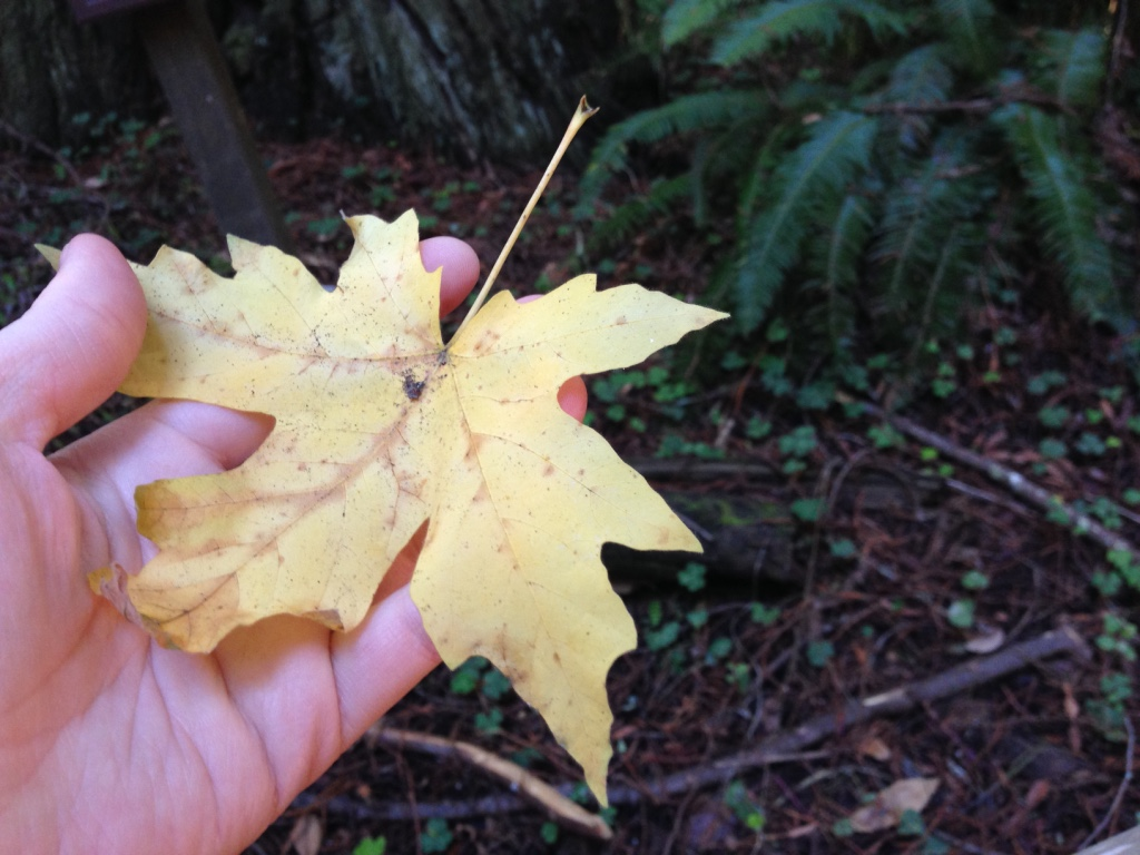 leaf-muir-woods